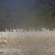 Birdlife on Sun Koshi riverside, Nepal
